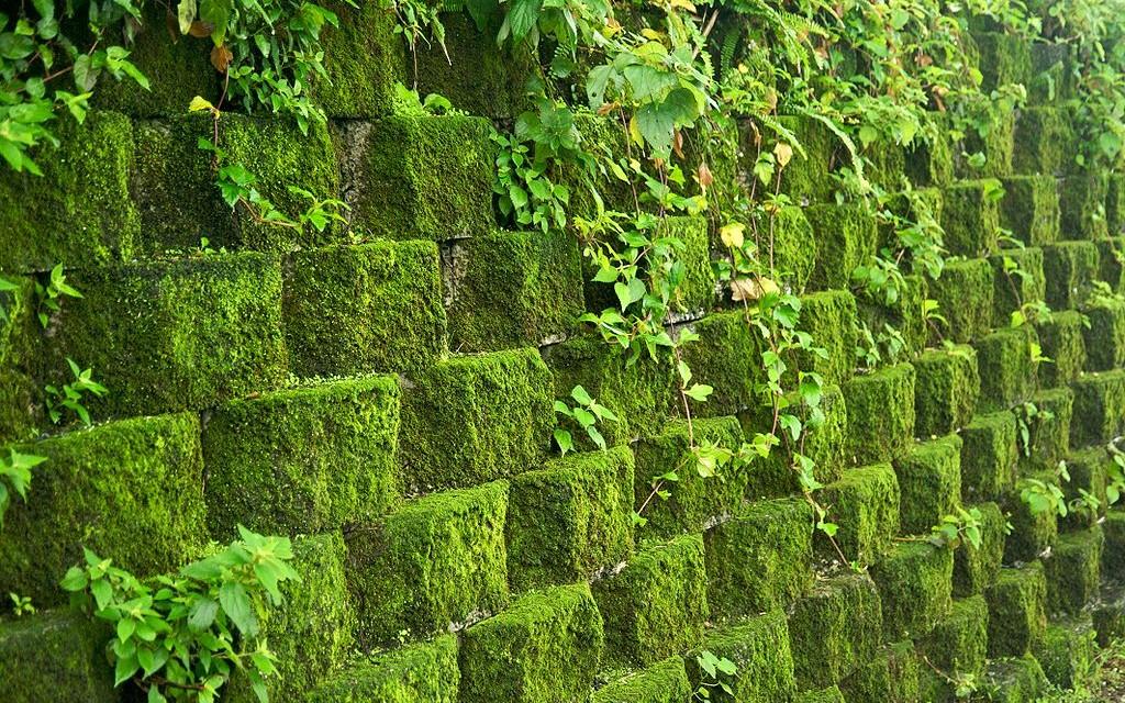 Un mur pris par les mousses : n'attendez pas si longtemps pour contacter IsolToit, expert en démoussage des toitures