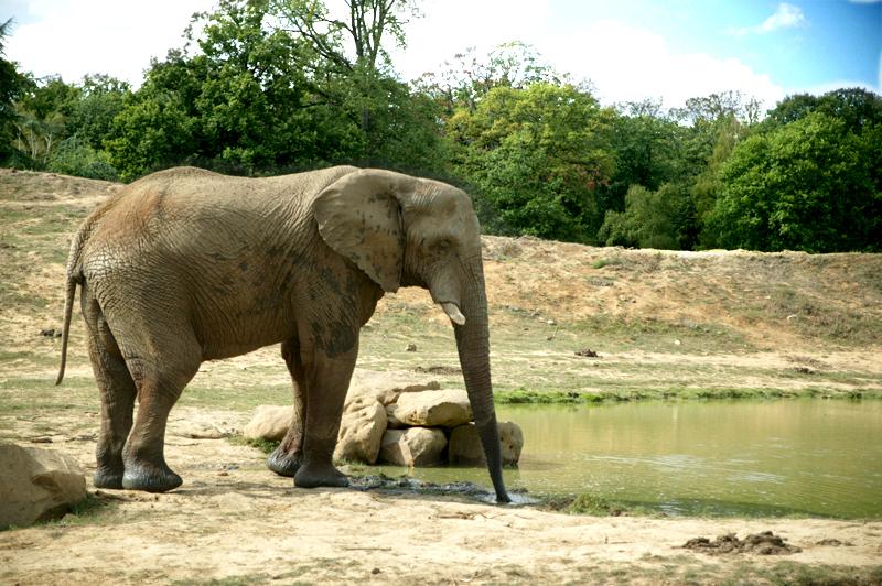 Elephant dans la réserve africaine du parc zoologique de Thoiry